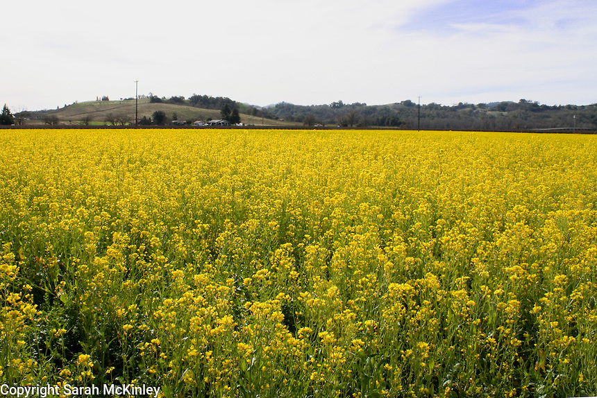 A large field of mustard stretches out to the low hills in the far distance near Geyserville in Sonoma County in Northern California.