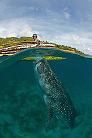 Whale shark hand feeding from a fisherman in Oslob, Cebu. This controversial practice has drawn a lot of tourists to this area of the Philippines. Many conservationist are very skeptical of this practice and kind of tourism.