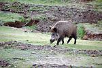 Wild boar, Sus scrofa, foraging, Sierra de Andujar Natural Park, Sierra Morena, Andalucia, Spain
