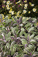 Salvia officinalis, Tricolor Garden Sage, variegated herb foliage leaves
