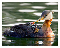 Alaska. Red-necked Grebes (Podiceps grisegena) and chicks during feeding time on a southcentral lake in Alaska.
