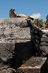 South Plazas Island, Galapagos, Ecuador; a young Galapagos Sea Lion (Zalophus wollebaeki) rests at the top of the stairs, waiting to greet us onto South Plazas Island , Copyright © Matthew Meier, matthewmeierphoto.com All Rights Reserved