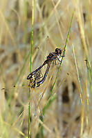 362690002 a pair of wild mating black meadowhawks sympetrum danae perch on a wild grass stem at de chambeau ponds in southern mono county california united states