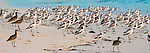 Crab-plovers and whimbrels on the beach, Mnemba Island, Tanzania