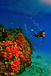 8 August 2010: SCUBA Diver Sally Herschorn glides around a coral and sponge outcropping at Turtle Reef on Grand Cayman Island in the British West Indies. The Cayman Islands are renowned for their excellent scuba diving. Model Release on File. Mandatory Credit: Ed Wolfstein Photo