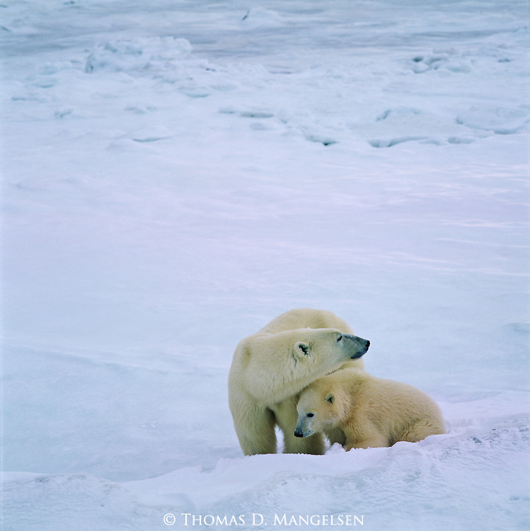A mother Polar bear watches over her young cub on the icy tundra in Canada.