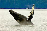 Humpback whale breaching in Chatham Straight, Inside Passage, Southeast Alaska