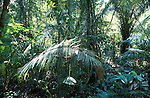 Understorey of rainforest - Cockscomb Basin,  . .Belize....