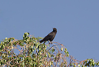 513000001 a wild american crow corvus brachyrhynchos calls from a large tree  in inyo county california