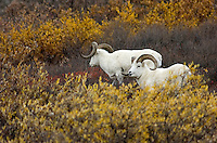 "A pair of Dall sheep browse in autumn colors on a hillside above Denali Park Road on Sept. 15, 2006. Dall sheep are one of ""the big five"" mammals that visitors hope most to see in the park."