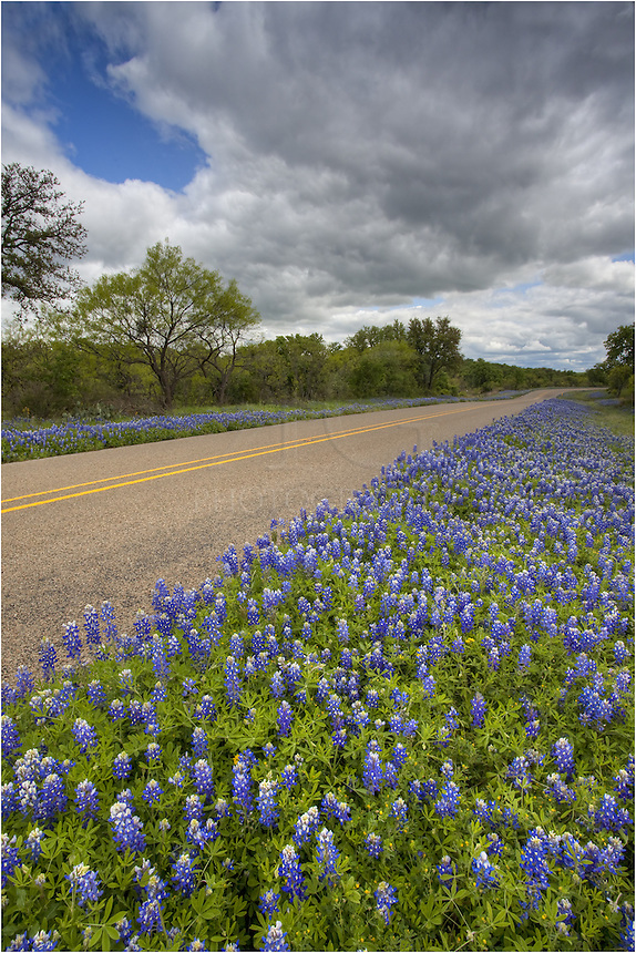 Along highway 386 north of Mason, Texas, you can find great places to capture bluebonnet pictures. These Texas wildflowers grow along the sides of the road (thanks to Ladbird Johnson) and follow the road along the highways for miles and miles. As you drive, you'll also see other Texas wildflower fields, often filled with white poppies, coreopsis, or Indian blankets. Enjoy the drive. The wildflower scenery can't be beaten on good years!