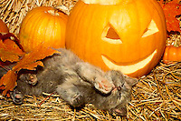 Kitten stretches out on hay next to jack o' lantern for a nap