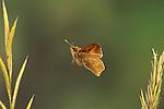 Small Skipper Butterfly, Thymelicus sylvestris, In flight, free flying, High Speed Photographic Technique.United Kingdom....