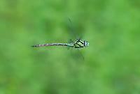 339550019 a wild male malachite darner remartinia luteipennis in flight over a small stream at empire cienega natural conservation area pima county arizona