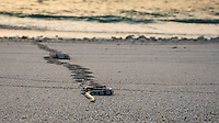 Namotu Island Resort, Nadi, Fiji (Wednesday, February 15 2017): A banded sea snake coming ashore at Sunset. There was a light North East wind this morning that got stronger as the day went on. There was a small left over West swell hitting Wilkes, Despos and Namotu Lefts. Guests surfed Despos and Wilkes on the early morning high tide while some SUP'ed the Lefts while  others went fishing. The traditional Kava Ceremony  was held tonight.  Photo: joliphotos.com