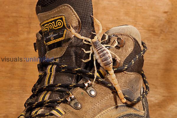 Desert Hairy Scorpion on a shoe (Hadrurus arizonensis). Captive