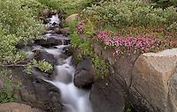 Creekside Bloom, Sierra Nevada