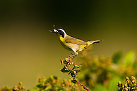 Common Yellowthroat, Geothlypis trichas, bringing a cricket (food) to the nest ; Indiana
