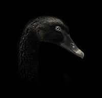 BNPS.co.uk (01202 558833)<br /> Pic: AlexTeuscher/BNPS<br /> <br /> ****Please use full byline****<br /> <br /> Black swan.<br /> <br /> These zoo animals take on an altogether more sinister look after posing for a set of moody black and white portraits.<br /> <br /> Alex Teuscher has brought out the dark side in a range of exotic creatures including tigers, rhinos and elephants with his artistic project which took two years to complete.<br /> <br /> More than 200 photographs were taken to get the perfect set, which was snapped at zoos in Singapore and Switzerland.<br /> <br /> Alex's subjects also include a baboon, a grey crown crane, a green tree python and a Malay fish owl.<br /> <br /> Amazingly Alex, 31, from Geneva, Switzerland, only got into photography three years ago when his father gave him an old SLR camera.