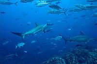 Scalloped Hammerhead sharks swim through a school of jacks underwater at Cocos Islands off the coast of Costa Rica.