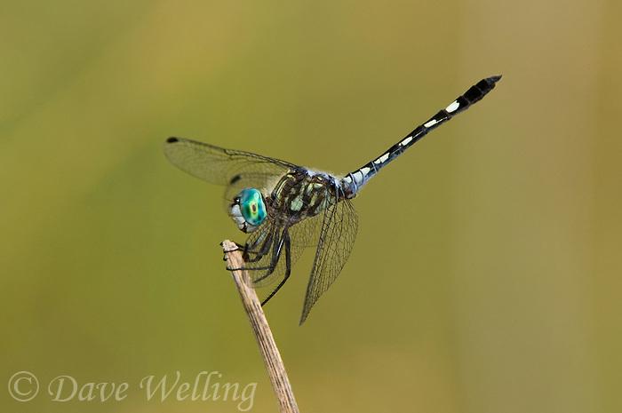 338600003 a wild male thornbush dasher dragonfly micrathyria hagenii perches on a dead twig hornsby bend travis county texas
