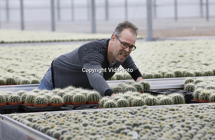 Foto: VidiPhoto<br /> <br /> BEMMEL - Werkzaamheden bij cactuskweker Derksen Plant BV in Bemmel. Eigenaar is Robert Jan Derksen (foto). Het bedrijf kweekt en verwerkt jaarrond meer dan honderd verschillende soorten cactussen en is 1,7 ha. groot.