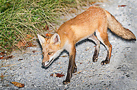 Red Fox walking along gravel road in Delaware