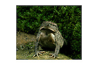 Fowlers toad (Bufo woodhousei fowleri) eating worm- the big gulp