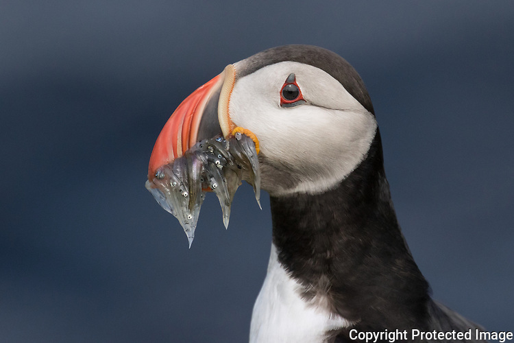 Atlantic Puffin with a catch.