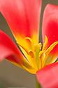 Tulip (Tulipa 'Dreamboat'), glasshouse, mid March.