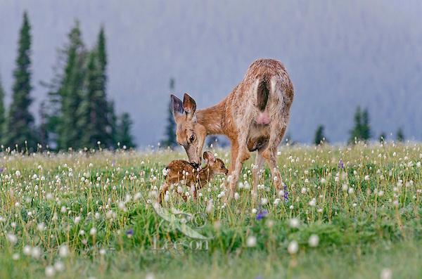 Columbian black-tailed deer (Odocoileus hemionus columbianus) doe licking (cleaning) fawn among bistort and a few lupine wildflowers. Pacific Northwest.  Summer.