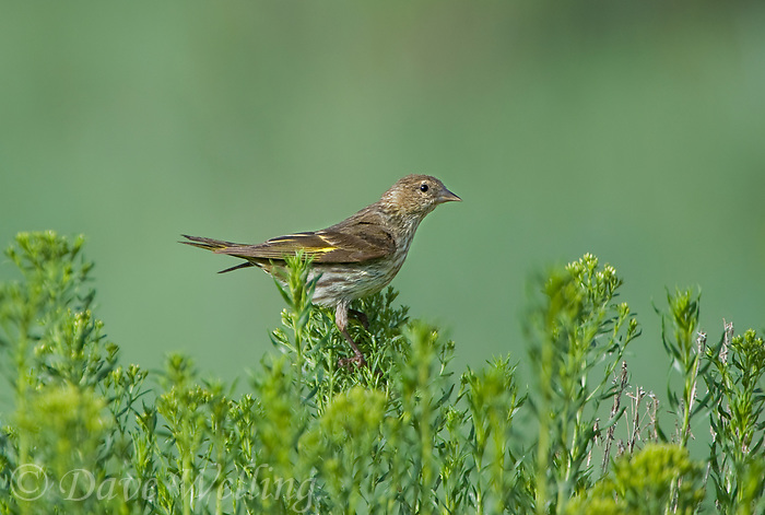 578590009 a wild pine siskin carduelis pinus forages on wild bushes in bryce canyon national park utah united states