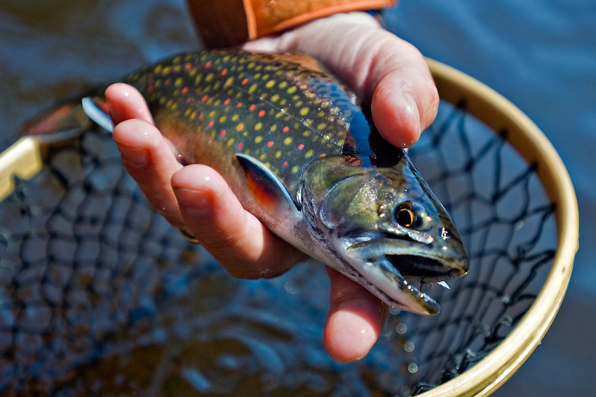 A brook trout from the Escanaba River in Michigan Upper Peninsula.