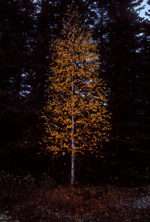 A lone white birch with fall foliage againsta  backdrop of dark evergreens in Pictured Rocks National Lakeshore near Grand Marais, Mich.