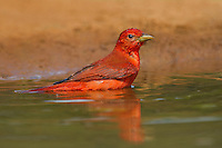 580980034 a wild male summer tanager piranga rubra bathes in a small pond at laguna seca ranch in the rio grande valley of south texas