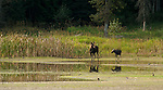 Female moose with calf at the Kootenai National Wildlife Refuge