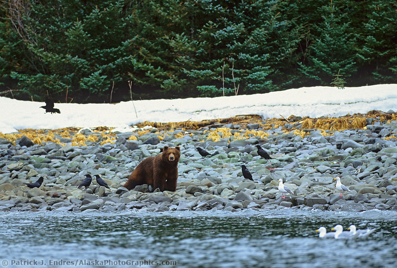 Brown bear feeds on fresh Herring roe along the shores of Montague Island, Prince William Sound, Alaska