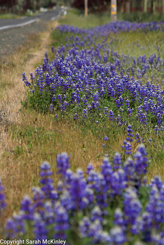 Lupine growing in several patches along a stretch of Highway 128 between Geyserville and Calistoga in Napa County in Northern California.