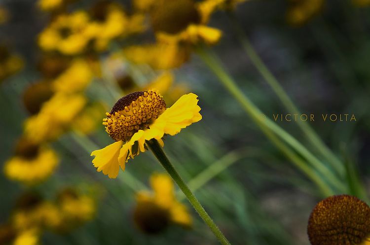 Bigelow Sneezeweed near Nevada Falls