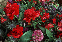 Paeonia Red Charm peonies with Allium ornamental onion, Eryngium sea holly, & Alstromeria in cut flower arrangement with hosta foliage leaves