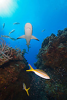 Caribbean Reef Sharks, Carcharhinus perezi, Yellowtail Snappers, Ocyurus chrysurus, and minnows, West End, Grand Bahama, Atlantic Ocean
