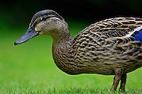 Mallard duck, England