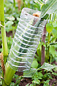 A ripening sweetcorn cob protected from birds and rodents using a cut-off plastic drinks bottle.