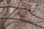 A male Cardinal sits atop a branch near Lake Nokomis