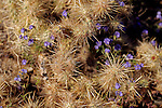 USA, California, San Diego County. Desert Lavender and Cholla Cactus at Anza-Borrego Desert State Park.
