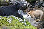 Black bear rests while Spirit bear watches for salmon on a small river in the Great Bear Rainforest.