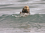 A sea otter rides a wave as it backfloats it's way across the waters of Orca Inlet, the eastern most portion of Prince William Sound, near the City of Cordova, Alaska.