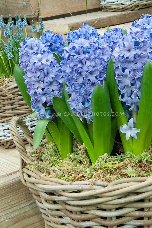Hyacinth Delft Blue in wicker basket forced indoors, fragrant Hyacinthus in flowers with Muscari grape hyacinths