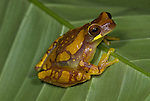 Hourglass Tree Frog, Dendropsophus ebraccatus, sitting on leaf, Guayacan, Provincia de Limon, Costa Rica, Amphibian Research Center, tropical jungle, South America, mottled colour.Central America....