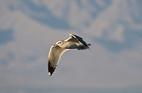 540060003 Mew Gull Larus canus WILD _DLW2548 .In Flight.Salton Sea National Wildlife Refuge, California